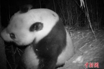 由濒危降为易危国宝大熊猫野外种群数量达到1800多只